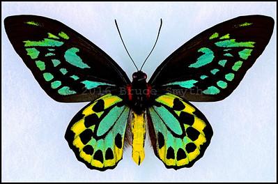 Ornithoptera Euphorion(7 Gold Spots) -Male -Verso