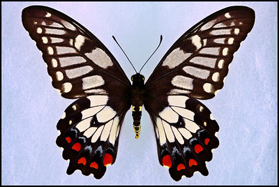 Papilio Anactus(Dingy or Dainty Swallowtail) -Female