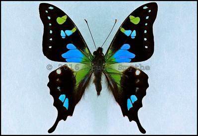 Graphium Weiskei(Blue Form) -Male