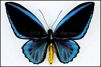 Ornithoptera Priamus Caelestis -Male -Recto