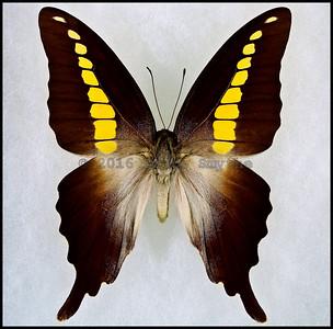 Graphium Codrus Auratus -Female