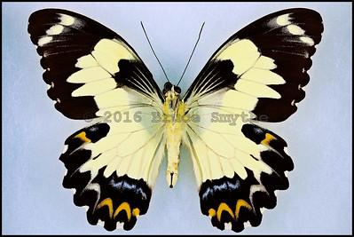 Papilio Euchenor -Male -Verso