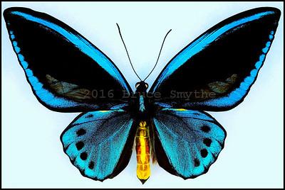 Ornithoptera Priamus Urvillianus -Male