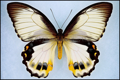 Papilio Aegeus Ormenus form Onesimus -Female