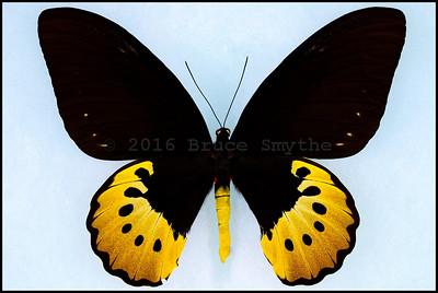 Ornithoptera Goliath Supremus form Titan -Female
