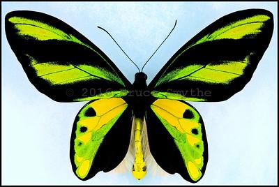 Ornithoptera Tithonus Misresiana -Male