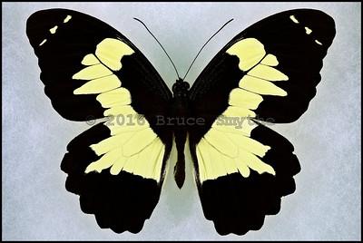 Papilio Euchenor -Male -Recto