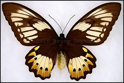 Ornithoptera Priamus Poseidon -Female -Aberration(White Forewings)