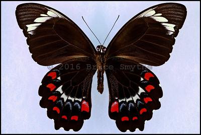 Papilio Oberon -Male -Verso