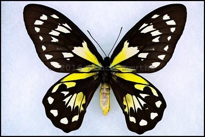 Ornithoptera Victoriae Epiphanes -Female