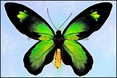 Ornithoptera Victoriae Rubianus -Male