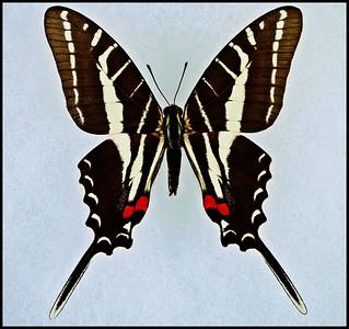 Eurytides Philolaus(Dark Kite-Swallowtail) -Male