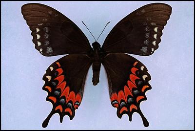 Papilio Garamas Electryon(Magnificent Swallowtail) -Female -Form Amerias