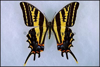 Papilio Pilumnus -Female
