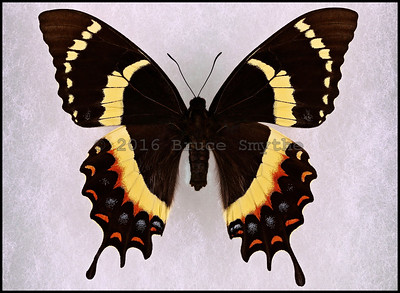 Papilio Garamas Electryon(Magnificent Swallowtail) -Female -Rare Form