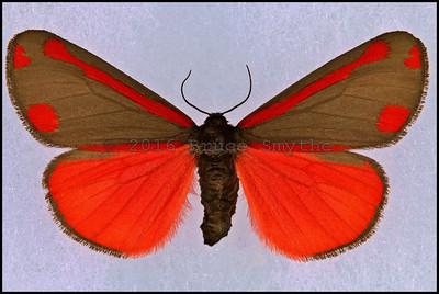 Tyria Jacobaeae(Cinnabar Moth) -Male