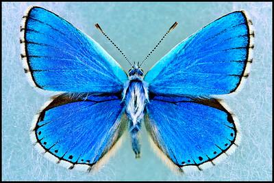 Polyommatus Bellargus(Adonis Blue) -Male
