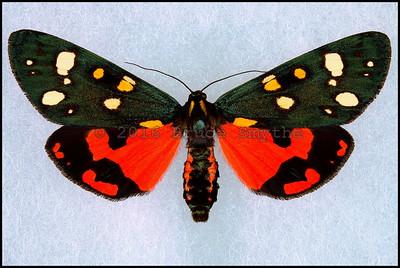 Callimorpha Dominula(Scarlet Tiger Moth) -Male