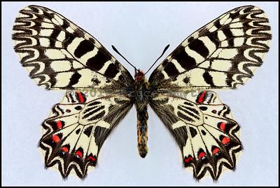 Zerynthia Polyxena(Southern Festoon) -Female