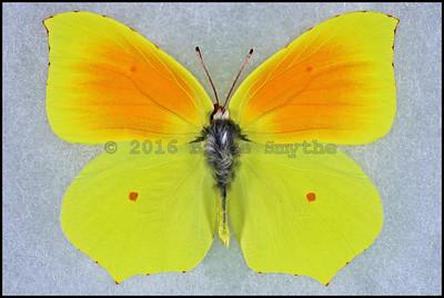 Gonepteryx Cleopatra(Cleopatra Butterfly) -Male