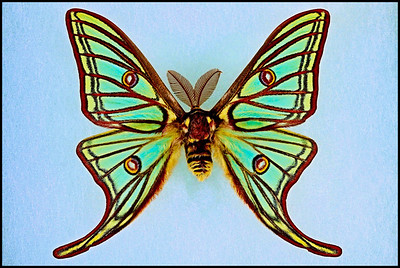 Graellsia Isabellae(Spanish Moon/Stained Glass Moth) -Male