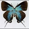 Atlides Halesus(Great Purple Hairstreak) -Female