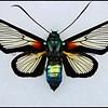 Cocytia Durvillei -Female