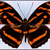 Athyma Eulimene -Female