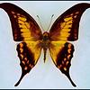Meandrusa Payeni Ciminius -Malaysia
