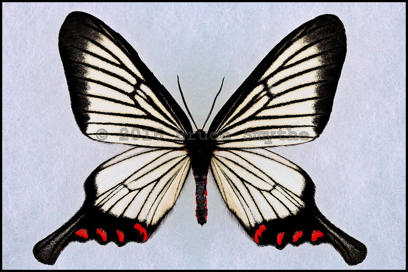 Epicopeia Hainesii Matsumurai -Male