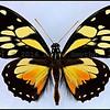 Papilio Ascolius Ascolius -Male