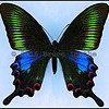 Papilio Bianor Kotoensis -Female