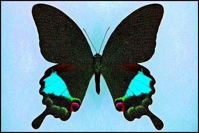 Papilio Karna Karna -Male