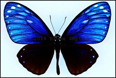 Chilasa Paradoxa Paradoxa(Great Blue Mime) -Male