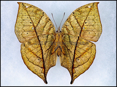 Kallima Paralekta(Dead Leaf) -Female -Verso