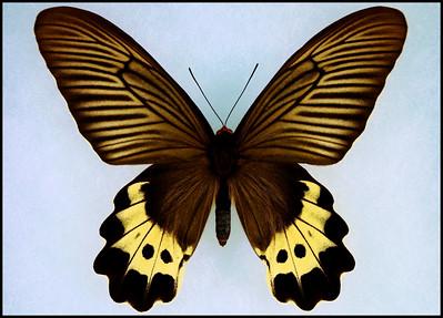 Atrophaneura Luchti -Female