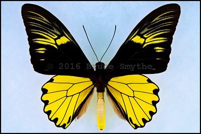 Troides Amphrysus Amphrysus -Male