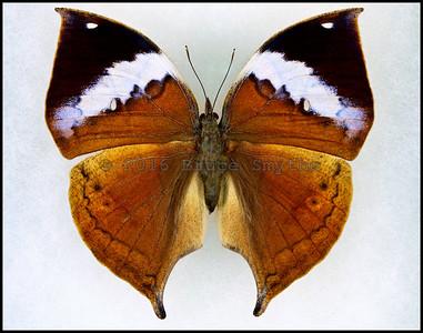 Kallima Paralekta(Dead Leaf) -Female -Recto