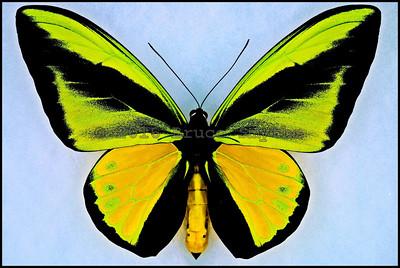 Ornithoptera Goliath Ukihidei -Male
