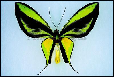Ornithoptera Paradisea Detanii -Male