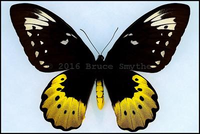 Ornithoptera Goliath Ukihidei -Female