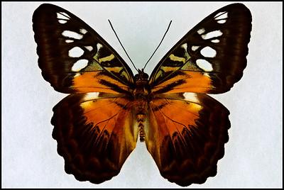 Parthenos Tigrina Nordrica(Clipper) -Male