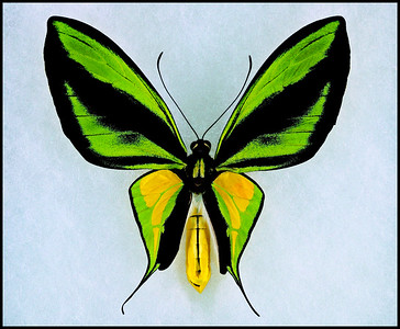 Ornithoptera Paradisea Flavescens -Male