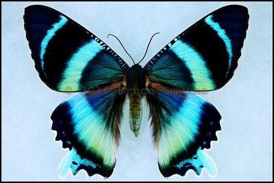 Alcides Agathyrsus -Female -Recto
