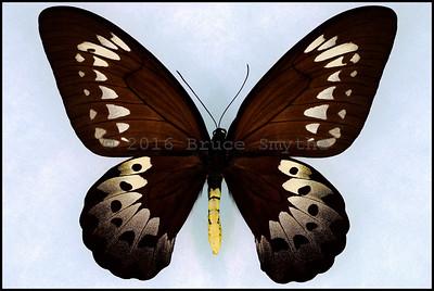 Ornithoptera Goliath Procus -Female