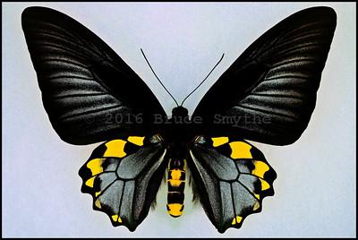 Troides Hypolitus Cellularis -Male