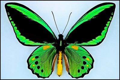 Ornithoptera Priamus Priamus -Male
