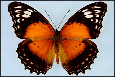 Cethosia Cydippe Chrysippe -Male