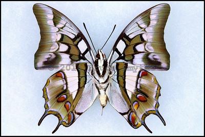 Polyura Cognatus -Male -Verso