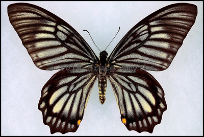 Chilasa Veiovis -Male